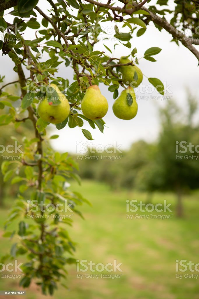 Orchard Pear tree heavy with fruit stock photo