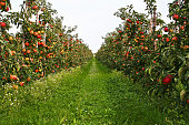 'Orchard with ripe apples, please see also my other images of orchards, apples and pears in my lightbox:'