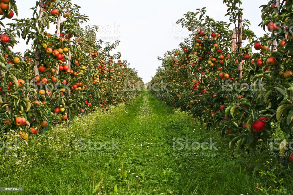Orchard # 123 stock photo