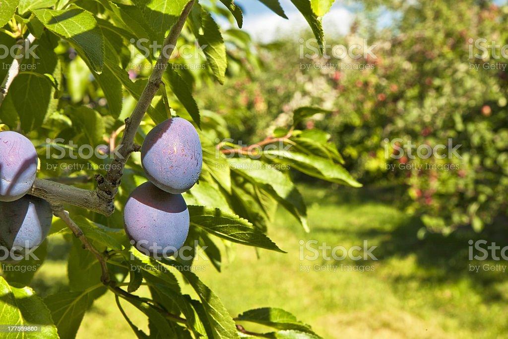 Orchard ameixas - foto de acervo