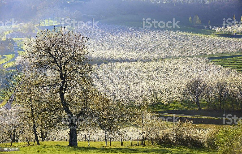 orchard plums three stock photo