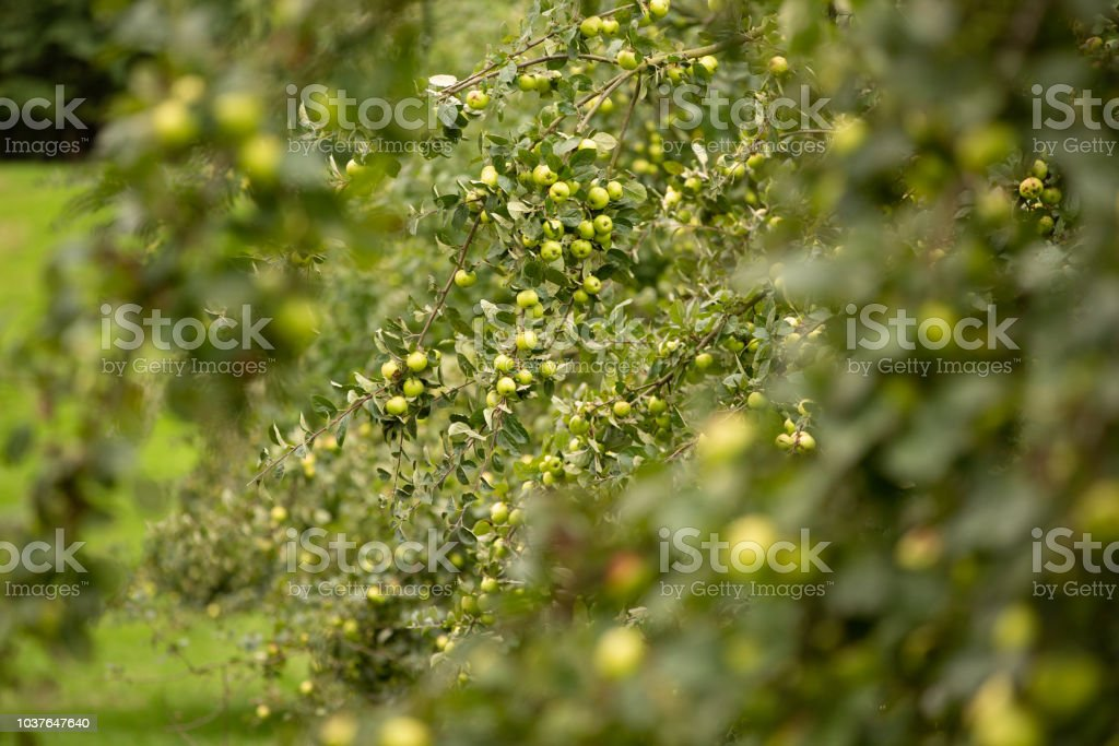 Orchard tree branch full of ripe green fruit. stock photo