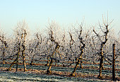 Dusk at an apple orchard after a overnight frost.