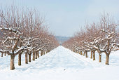 apple orchard mist an snow,image of a