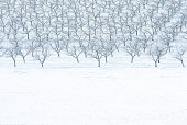 frozen apple trees in snow
