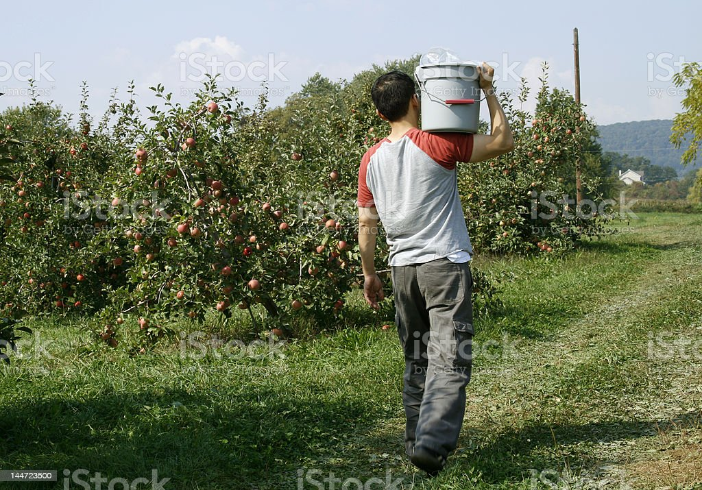 orchard worker carrying harvested fruits stock photo