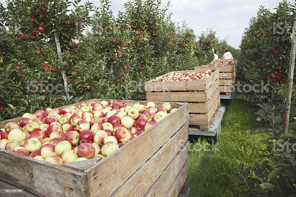 Orchard # 77 XXXL royalty-free stock photo