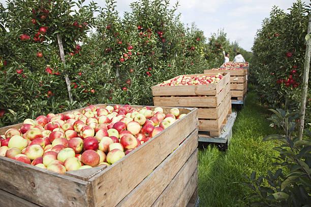 Orchard # 77 XXXL stock photo
