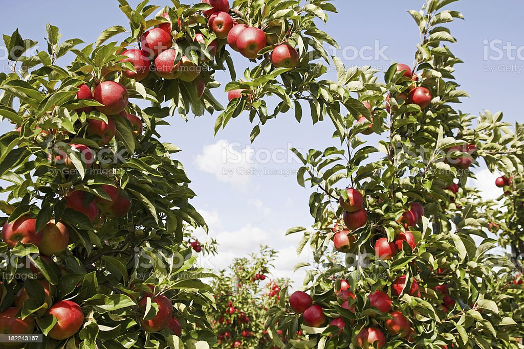 Orchard # 79 XXXL royalty-free stock photo