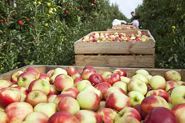 orchard # 88 xxxl - 大比大 聖經人物 個照片及圖片檔