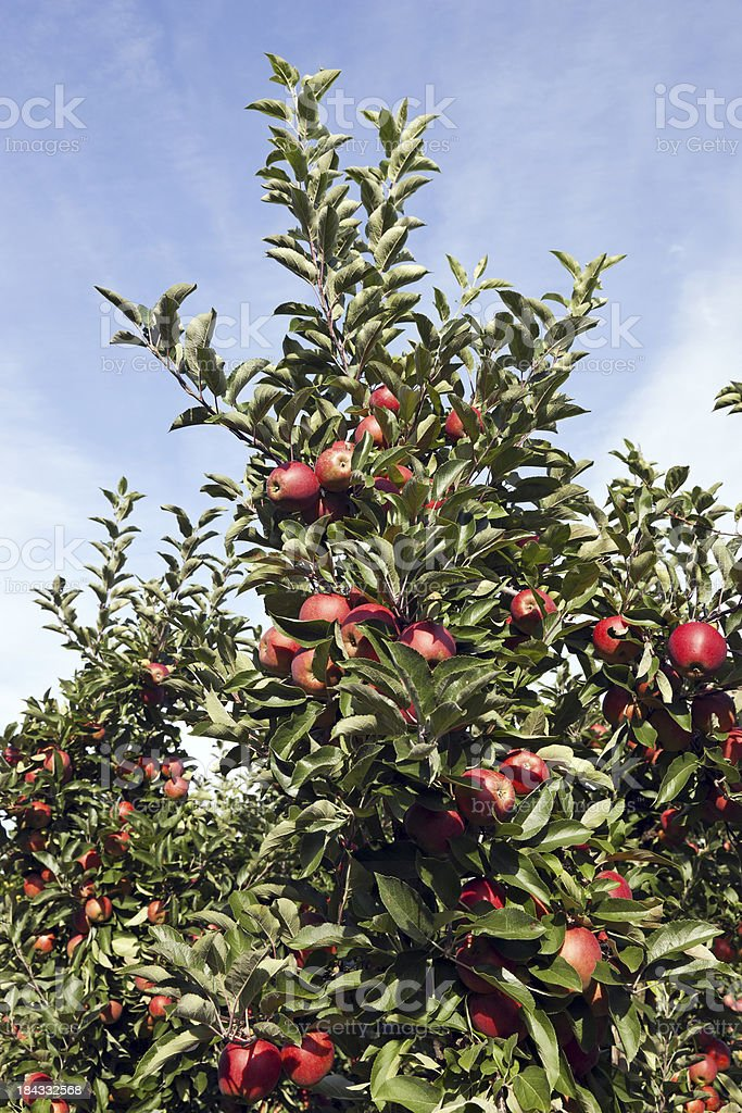 Orchard # 121 XXXL royalty-free stock photo