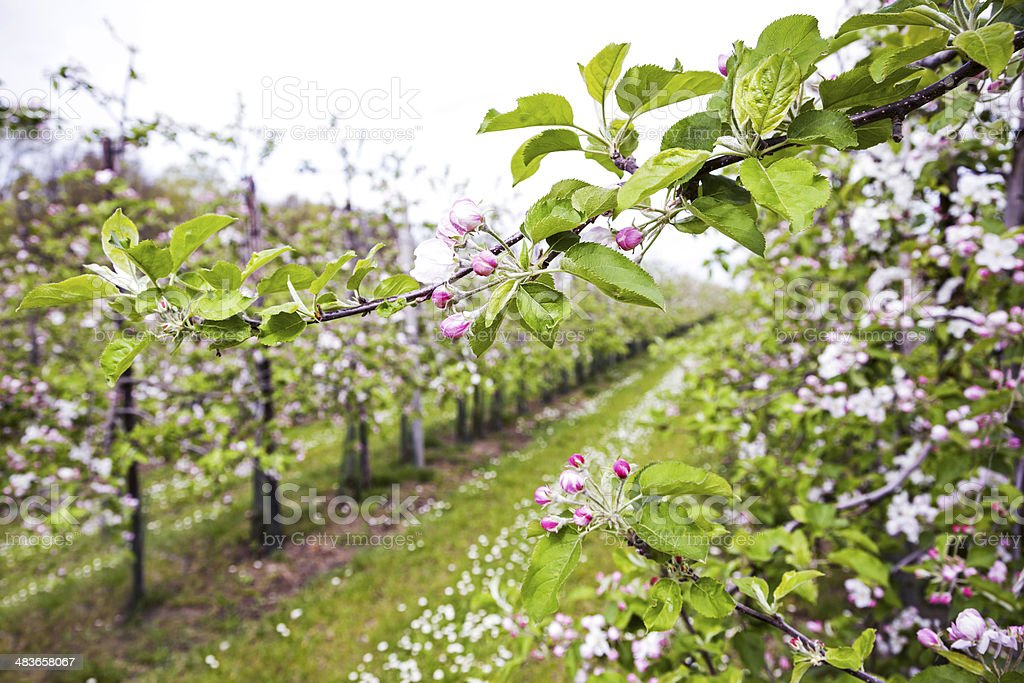 Orchard # 133 XXXL royalty-free stock photo