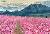 Orchard in bloom. Blossoming of fruit trees in Cieza in the Murcia region. Peach, plum and nectarine trees. Spain