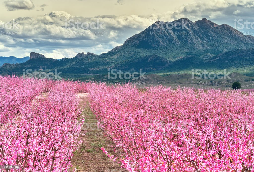 Orchards in bloom stock photo