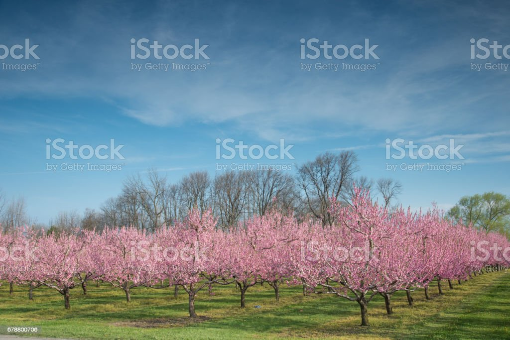 Orchards in full blossom photo libre de droits