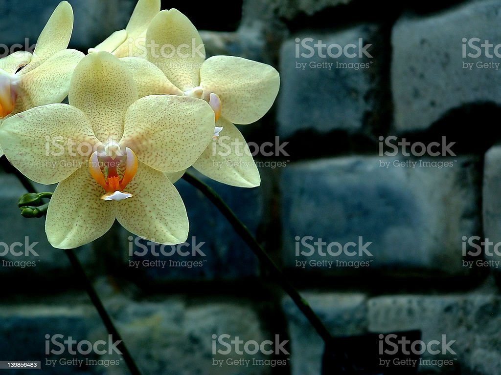 Orchid 4 stock photo