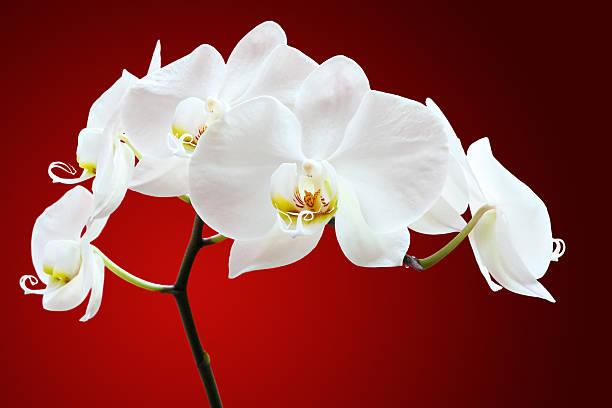 Orchid contra rojo - foto de stock