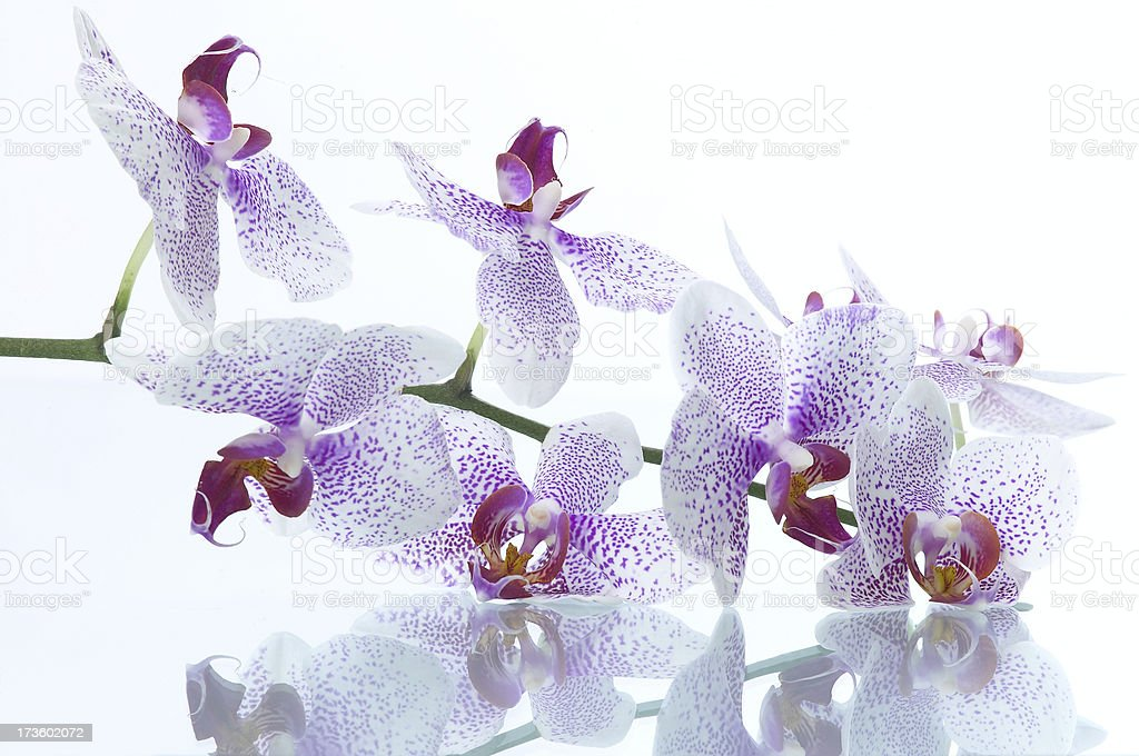 Orchid & reflection royalty-free stock photo