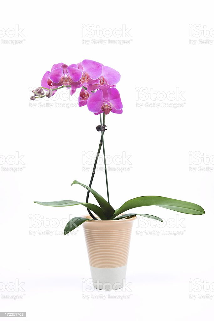Orchid and Pot royalty-free stock photo