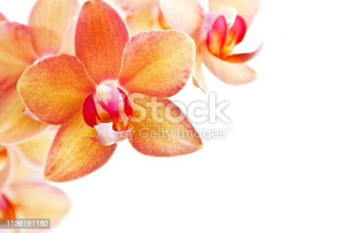 Orchid and white background with copy space