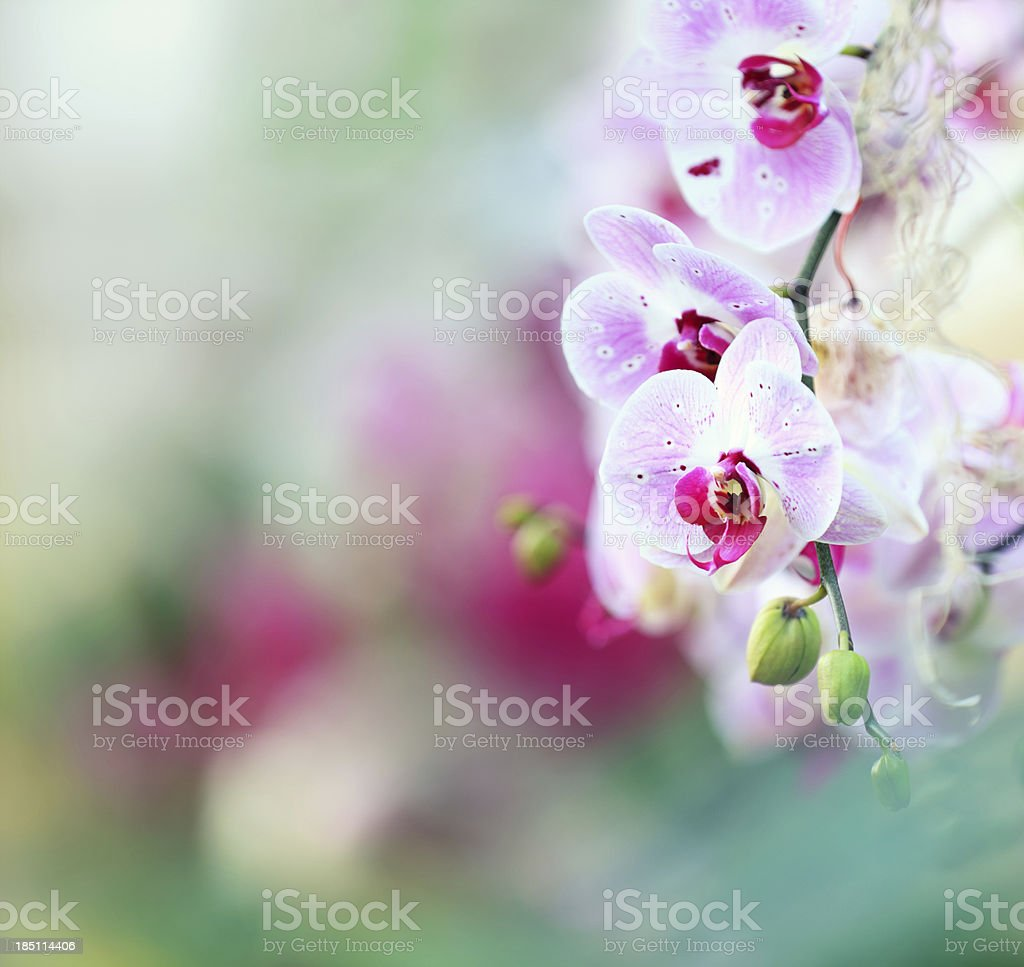 Orchid Background royalty-free stock photo