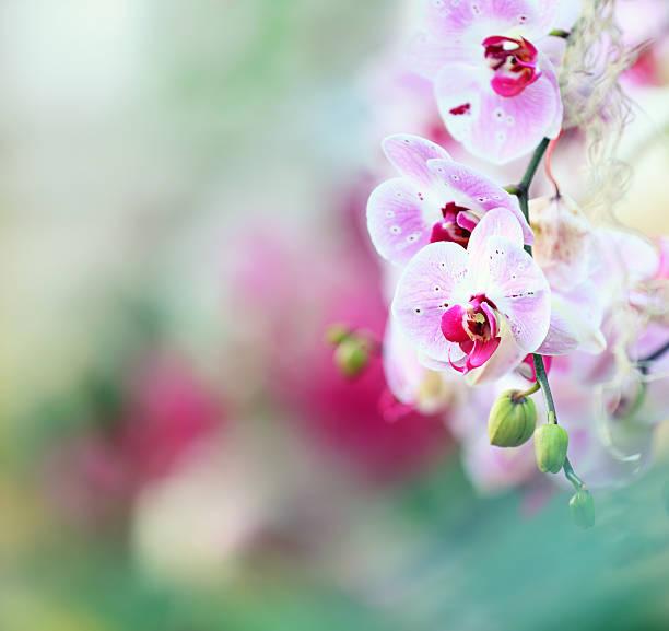 orchid hintergrund - horizontal gestreiften vorhängen stock-fotos und bilder