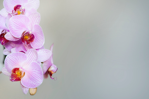 pink orchid, grey background