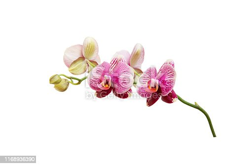 Orchid branch with pink purple blossoms and puds isolated on white background.