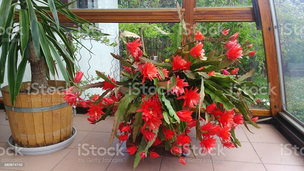 orchid cactus with hand large red flowers in winter garden stock photo