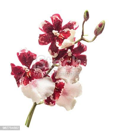 Orchid cambria