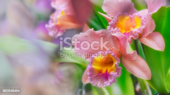 Beautiful cattleya orchid flowers in delicate pink and yellow colors