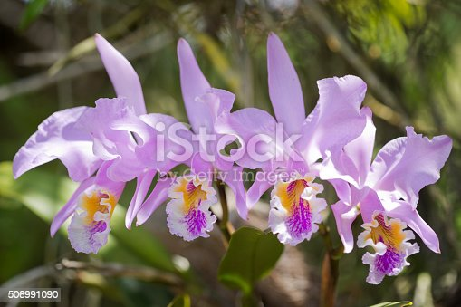 Cattleya Mossiae orchid bloom outdoors.
