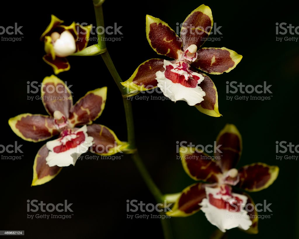 Orchid: Chocolate Oncidium Orchid stock photo