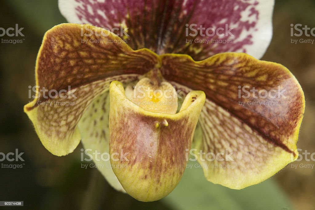 Orchid Close Up royalty-free stock photo