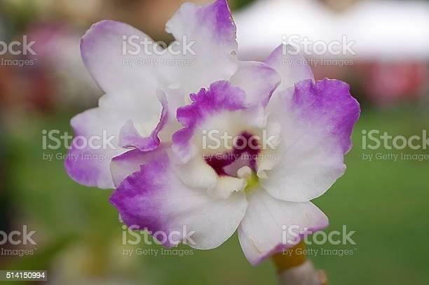 Orchid dendrobium picture id514150994?b=1&k=6&m=514150994&s=612x612&h=a5kfpkvjl6ghqrkx j4bjez5keddlkd4 gb e6krp80=