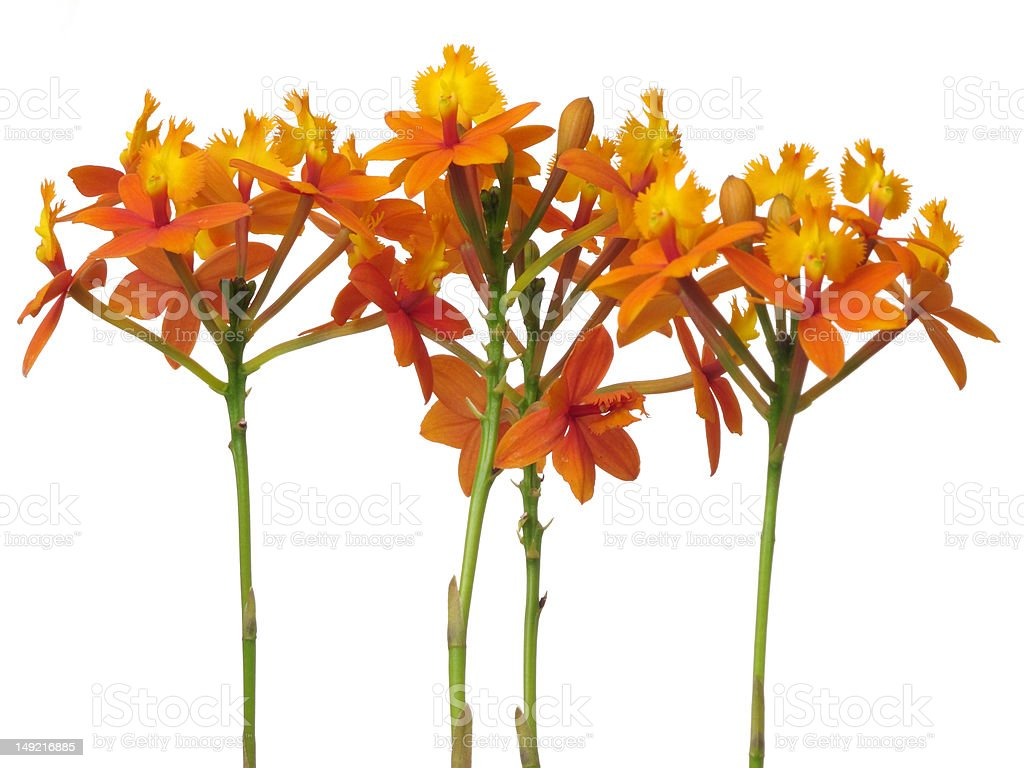 Orchid  Epidendrum stock photo