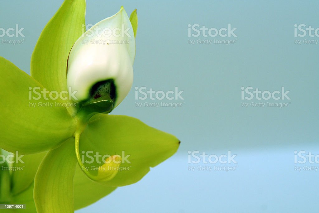 Orchid Fairy royalty-free stock photo