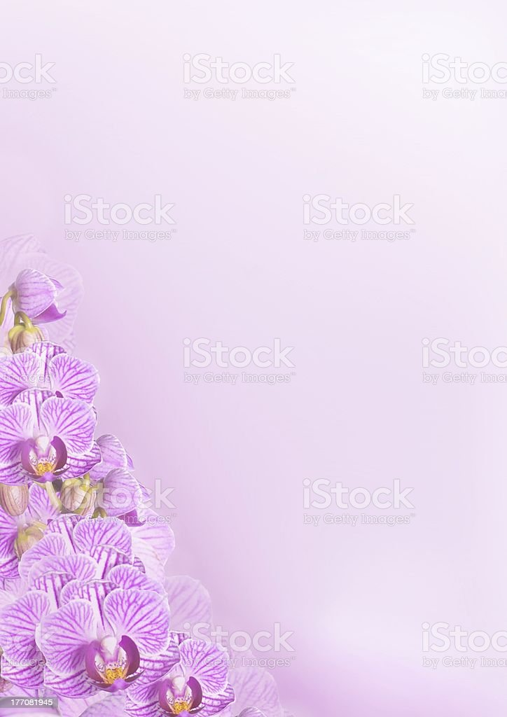orchid flower background in purple royalty-free stock photo