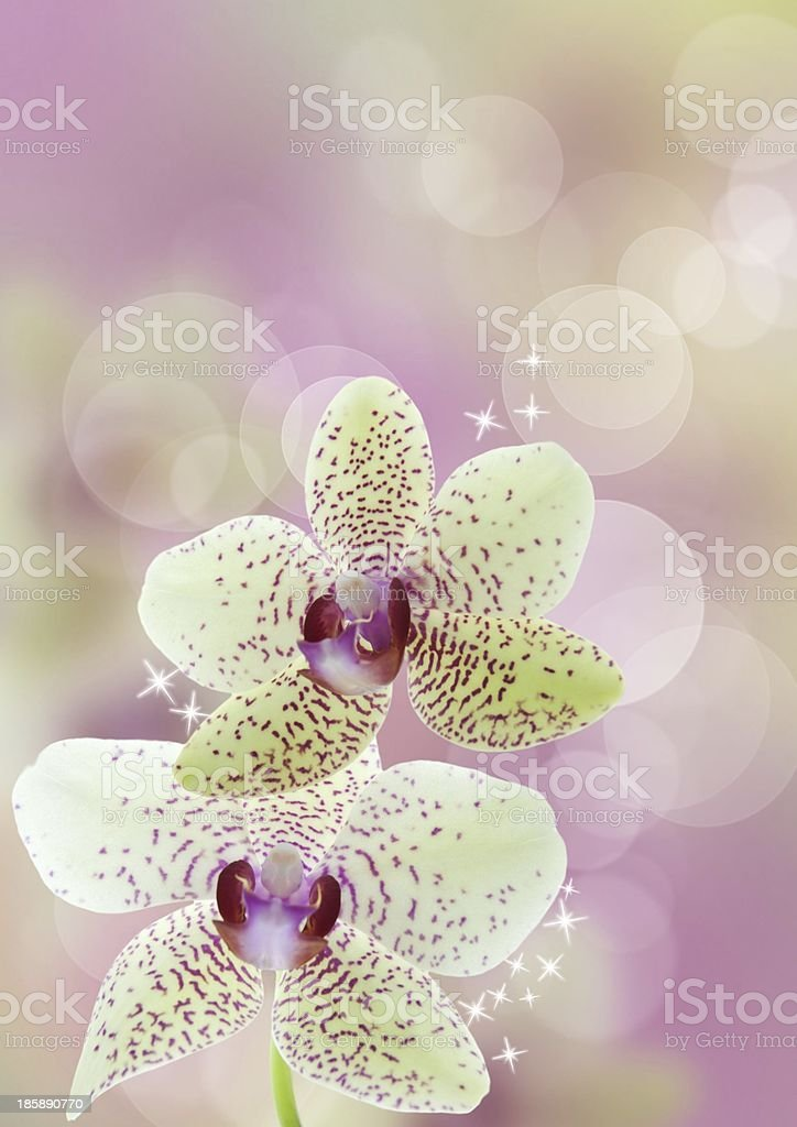 orchid flower background royalty-free stock photo