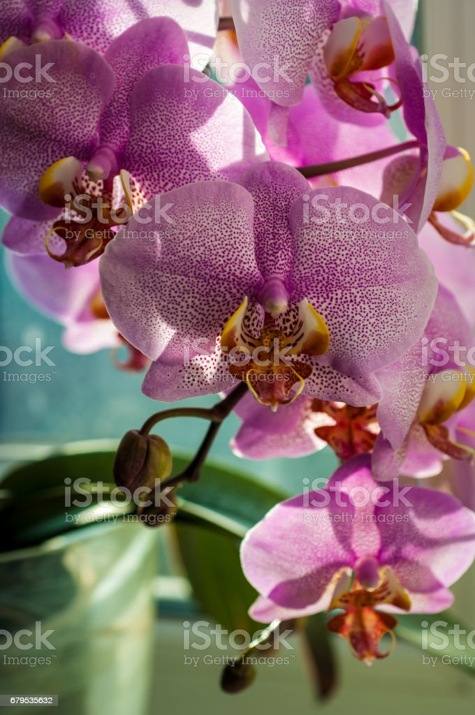 Orchid flower close-up royalty-free stock photo
