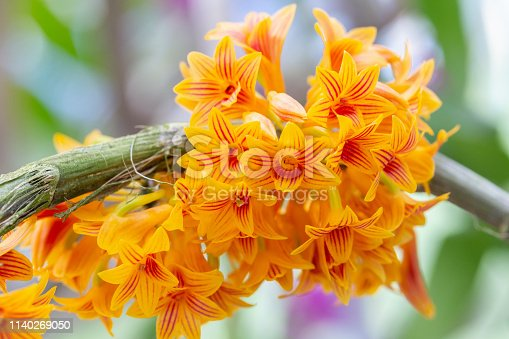 Orchid flower in orchid garden at winter or spring day for beauty and agriculture concept design. Dendrobium bullenianum Orchidaceae