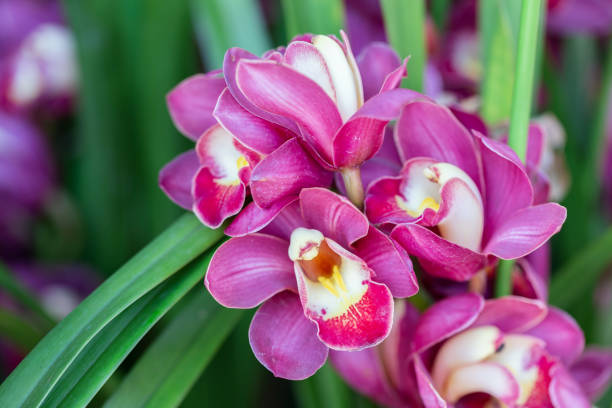 Orchid flower in orchid garden at winter or spring day for beauty and agriculture design. Cymbidium Orchidaceae. - foto stock