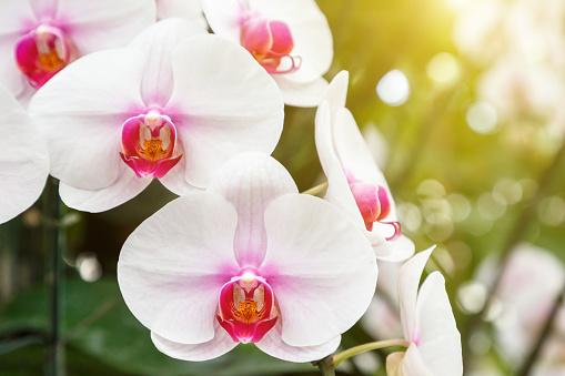 Orchideebloem In Orchideeën Tuin In De Winter Of Voorjaar Dag Voor Briefkaart Schoonheid En Landbouw Idee Conceptontwerp Phalaenopsis Orchidee Of Vlinder Orchidee Stockfoto en meer beelden van Achtergrond - Thema