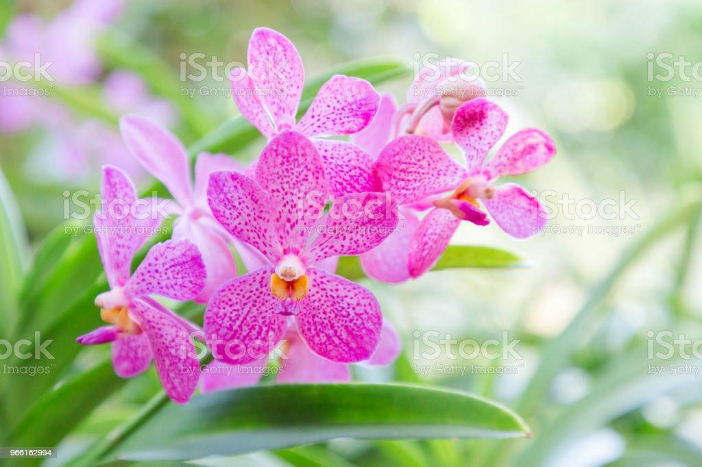 Orchidee Blume im Orchideengarten im Winter oder Frühling Tag für Postkarte Schönheit und Landwirtschaft Idee-Konzept-Design. Mokara Orchidee oder Arachnis Orchidee. - Lizenzfrei Baumblüte Stock-Foto