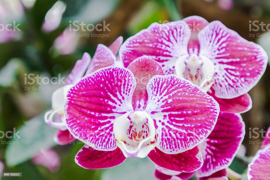 Orchid flower in orchid garden at winter or spring day for postcard beauty and agriculture idea concept design. Phalaenopsis orchid or Moth orchid. - Royalty-free Anniversary Stock Photo