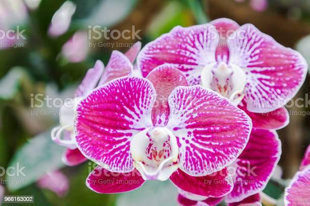 Orkidé I Orkidé Trädgård På Vintern Eller Våren Dag För Vykort Skönhet Och Jordbruk Idé Konceptdesign Phalaenopsis Orkidé Eller Mal Orkidé-foton och fler bilder på Bildbakgrund