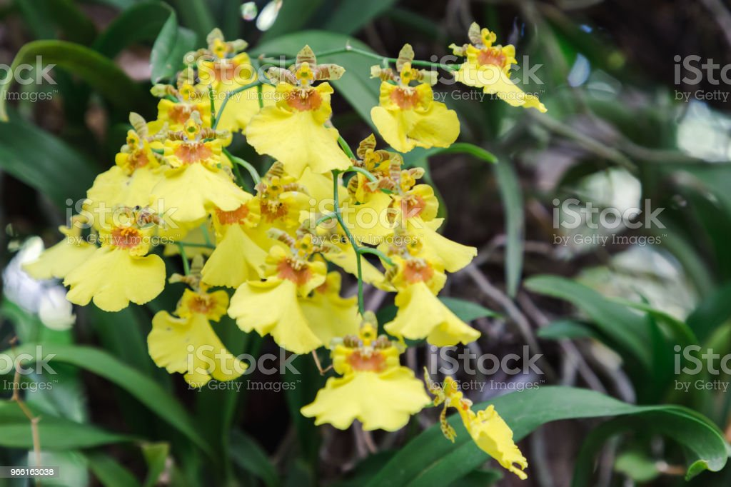 Orchid flower in orchid garden at winter or spring day for postcard beauty and agriculture idea concept design. Oncidium goldiana orchid. Golden shower orchids. - Стоковые фото Ботаника роялти-фри