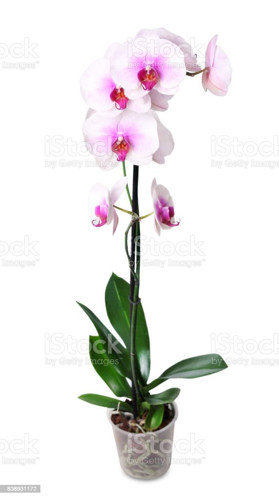Orchid flower in pot isolated on white. stock photo