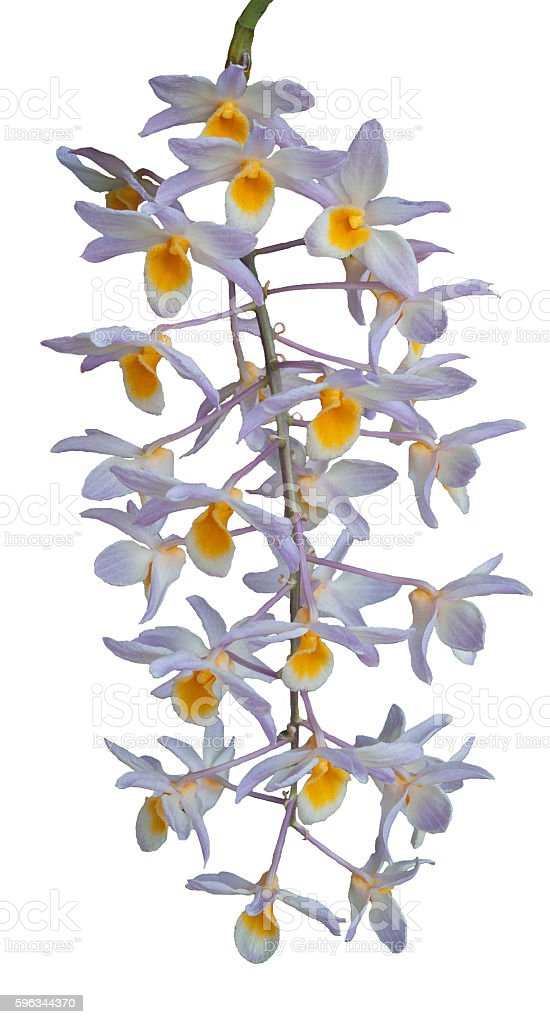 Orchid Flower isolated on white background royalty-free stock photo
