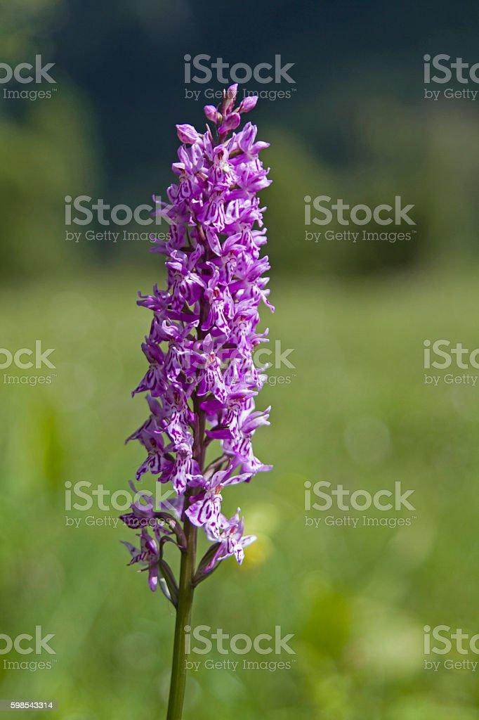 Orchid flower on a peat meadow photo libre de droits